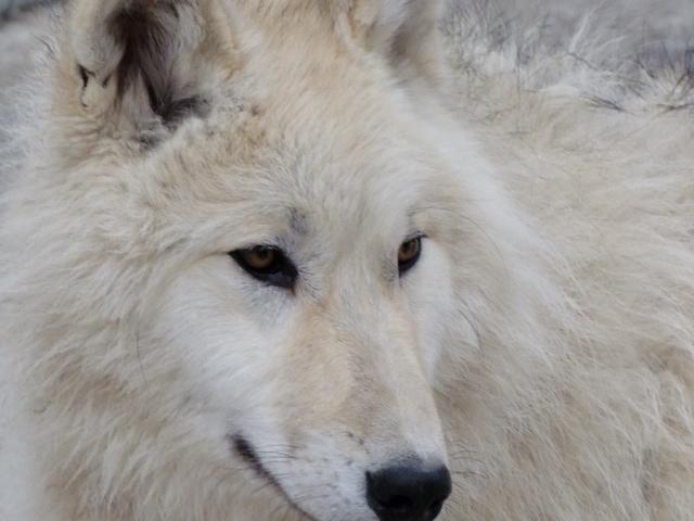 ... wolf tundra wolf timber wolf gray wolf coastal wolf red wolf mackenzie