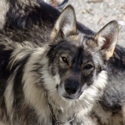 Saber . She is very protective and she is not friendly with any pet. She is good for a home with need of protection dog.She is a mid content wolf