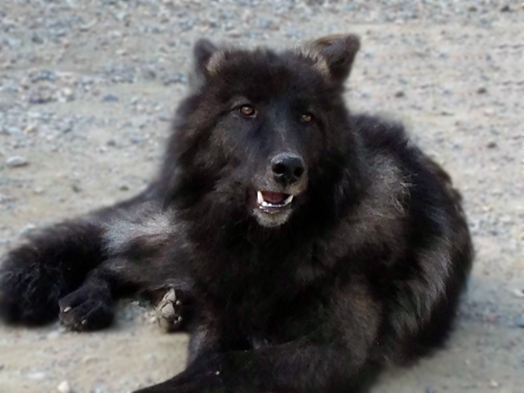 Black Wolf Like Dog